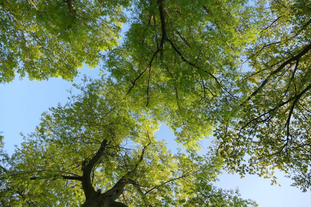 bomen met fris groen blad, zicht naar de hemel toe